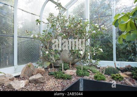 Pachypodium lealii auf freiwilliger Park Conservatory in Seattle, Washington, USA. - Stockfoto