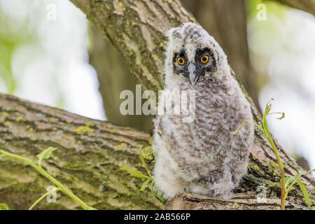 Waldohreule (Asio Otus) Pullus - Stockfoto