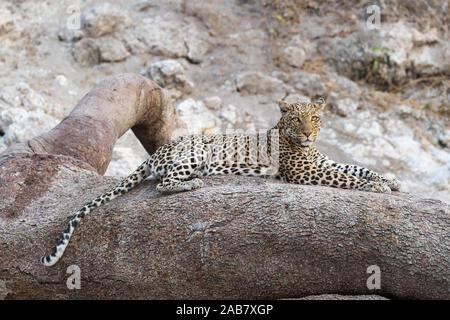 Leopard (Panthera pardus) Weiblich, Chobe National Park, Botswana, Afrika - Stockfoto