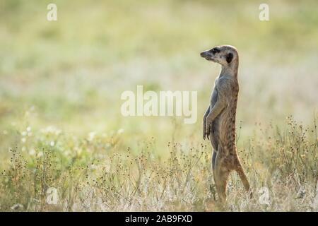 Erdmännchen auf dem Blick heraus in den Kalagadi Transfrontier Park, Südafrika. - Stockfoto