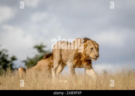 Junge männliche Löwe zu Fuß in den Kruger National Park, Südafrika.