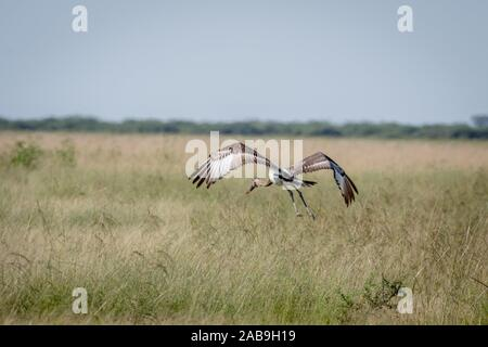 Juvenile Sattel-billed Stork weg fliegen in den Chobe National Park, Botswana. - Stockfoto