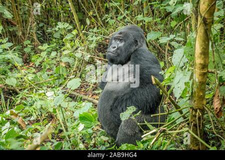 Silverback Mountain Gorilla im Wald im Virunga Nationalpark in der Demokratischen Republik Kongo sitzen. - Stockfoto