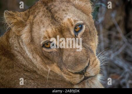 Weibliche Löwen rückblickend im Kruger National Park, Südafrika.