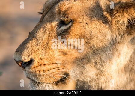 Seitenansicht eines Löwen im Krüger Nationalpark, Südafrika.