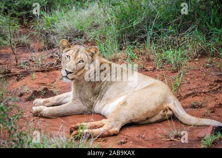 Löwe, Verlegung in den Schmutz in den Kruger National Park, Südafrika.