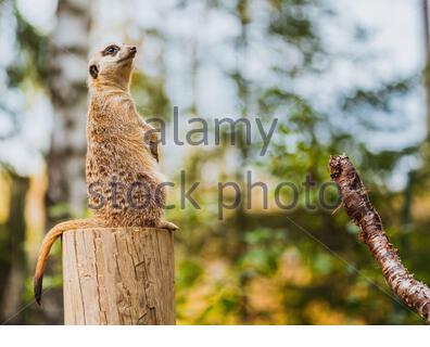 Ein erdmännchen am Nachmittag ruhen - Stockfoto