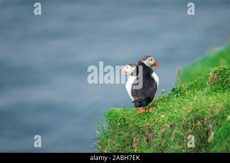 Paar der berühmten färöischen Vögel - papageientaucher am Rande der grünen Küste der Färöer Insel Mykines im Atlantischen Ozean. Färöer, Dänemark. Tier Fotografie - Stockfoto