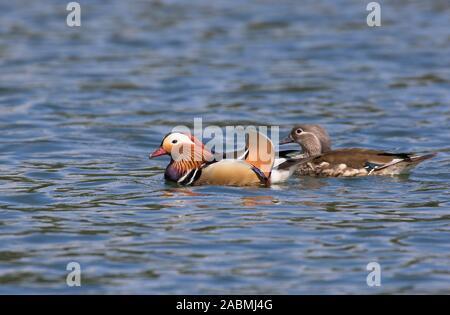 Mandarin Enten, Aix galericulata, einzigen erwachsenen männlichen und weiblichen Erwachsenen schwimmen. Wald von Dean, Gloucestershire, VEREINIGTES KÖNIGREICH Stockfoto