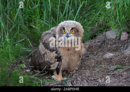 Eurasischen Uhu/Jungen Europäischen Uhu (Bubo bubo) Owlet am Boden im Grünland/Wiese im Sommer ausgesetzt Sitzen - Stockfoto