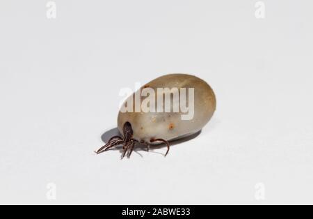 Castor bean Tick, verstopften mit einem Blut essen, auf weißem Hintergrund - Stockfoto