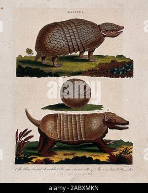 Top, die drei - armadillo gebändert, Mitte, 3-Gebändert Armadillo aufgerollt; unten, die sieben - armadillo gebändert. Farbigen Radierung von J. Chapman, 2 April 1803 ..jpg - 2 ABXMKN - Stockfoto