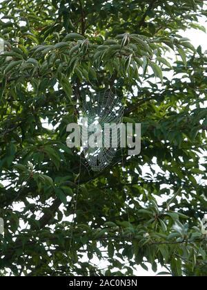 Ein Spinnennetz sieben in einem Kirschbaum in Hampshire UK - Stockfoto