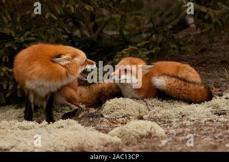 Zwei rote Füchse, eine zeigt die Zähne auf der anderen. - Stockfoto