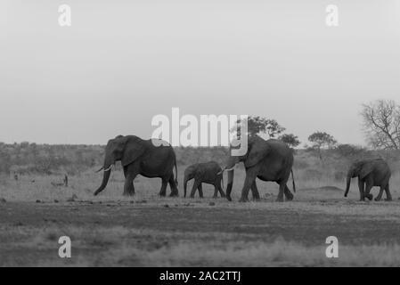 Elefantenherde sammeln Elefanten Afrikanischer Elefant - Stockfoto