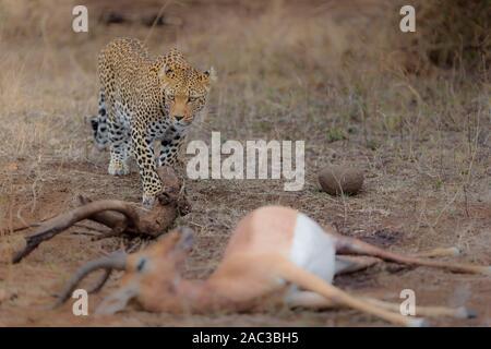 Leopard portrait Männlichen Leopard - Stockfoto