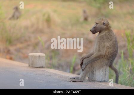 Männliche baboon sitzt wie eine menschliche - Stockfoto
