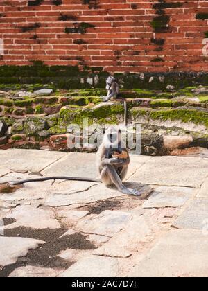 Grau Langurs in der Nähe der Stupa in der antiken Stadt Anuradhapura - Stockfoto