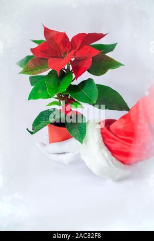 Rote Pflanze der Weihnachtsstern auf weißem Hintergrund in Rot Vase. Santa Claus Hand hält rote Blüte mit grünen Blättern. - Stockfoto