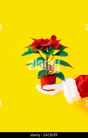 Rote Pflanze der Weihnachtsstern auf gelben Hintergrund in Rot Vase. Santa Claus Hand hält rote Blüte mit grünen Blättern. - Stockfoto