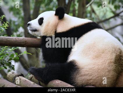 Müde Pandabär dösen aus - Stockfoto