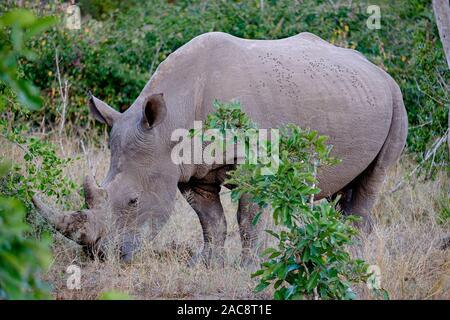 Ein weißes Nashorn Beweidung im Wilden - Stockfoto