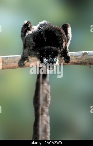 Blue-eyed Black lemur Lemur, sclaters - Schwarz - Stockfoto