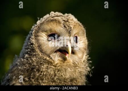 Junge Habichtskauz (Strix uralensis), Owl, Bayern, Habichtskauz, Junge, Bayern, Deutschland - Stockfoto