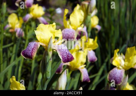 Schöne Bush der wachsenden iris Blüten mit gelb und violett motley Blütenblätter auf einer Frühlingswiese - Stockfoto