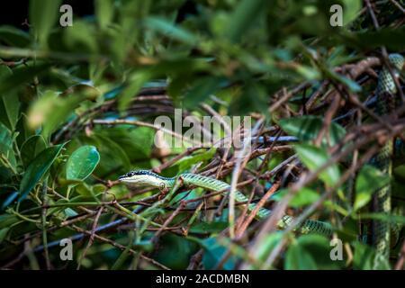 Schöne große Augen Viper in den Bäumen bereit - Stockfoto
