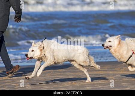 Zwei unleashed Berger Blanc Suisse Hunde/Weisse Schweizer Schäferhunde, weiße Form der Deutschen Schäferhund an Walker am Strand