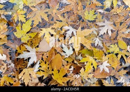 Silber Ahorn Blätter auf überschwemmten Wald, Herbst, Minnesota, USA, von Dominique Braud/Dembinsky Foto Assoc - Stockfoto