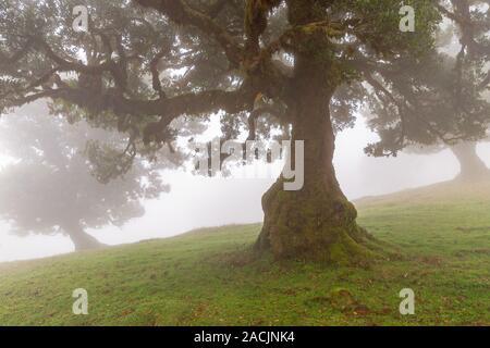 Laurel Baum im Nebelwald, Fanal, Madeira - Stockfoto