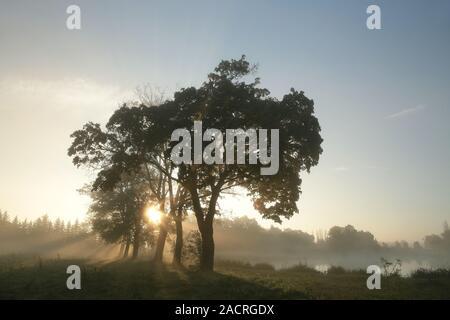 Silhouetten von Ahorn Bäume an einem nebligen Herbstmorgen. - Stockfoto