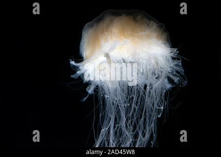 Quallen im Aquarium auf einem dunklen Hintergrund Stockfoto