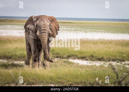 Großer Elefant Stier zu Fuß in Richtung der Kamera. - Stockfoto