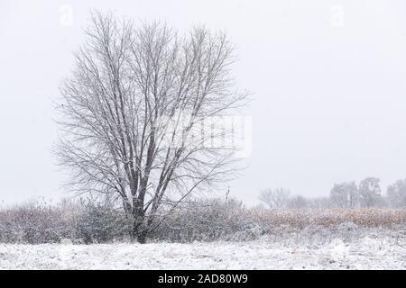 Bare Silber Ahorn (Acer saccharinum), erster Schnee, Minnesota, USA, von Dominique Braud/Dembinsky Foto Assoc - Stockfoto