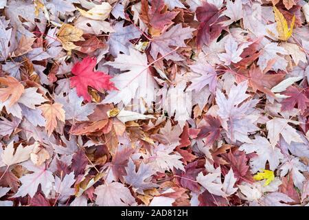 Silber Ahorn (Acer saccharinum) auf Waldboden, Herbst, Minnesota, USA, von Dominique Braud/Dembinsky Foto Assoc - Stockfoto