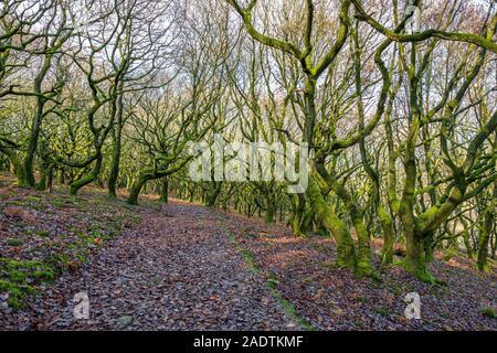 Verdrehte Bäume wachsen auf einem Hügel in Wales. - Stockfoto