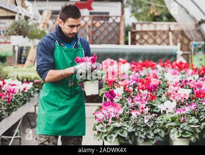 Junge Gärtner pflanzen Alpenveilchen Blumen im Gewächshaus. Gartenarbeit Konzept. - Stockfoto