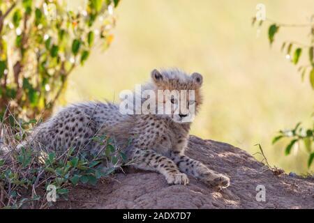 Cheetah cub liegen und ruht im Schatten der Büsche - Stockfoto