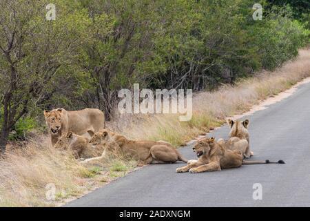 Lions entspannen Sie sich auf der Straße in der Krüger Nationalpark in Südafrika. Safari in Mpumalanga. - Stockfoto