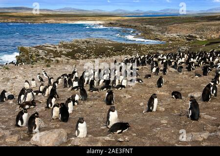 Rockhopper Penguin Colony (Eudyptes Chrysocome) auf Pebble Island in West Falkland auf den Falklandinseln (Islas Malvinas). - Stockfoto