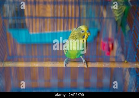 Sittiche. Grüne wellenförmige Papagei sitzt in einem Käfig. Rosy Lovebird Papagei im Käfig konfrontiert. Vögel untrennbar miteinander verbunden. Wellensittich im Käfig. Budgie Sittich in - Stockfoto