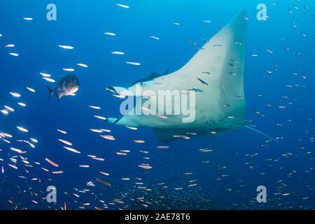 Große weibliche Ozeanischen Mantarochen (Manta birostris) Schwimmen durch tropische Fische in einem Korallenriff (Koh Bon, Similan Inseln) - Stockfoto
