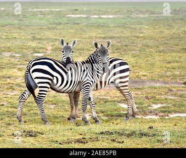 Zwei Zebras stehende seitwärts in eine Amboseli Grünland mit einer seinen Kopf über den anderen Zebra ist zurück. (Equus burchelli) - Stockfoto