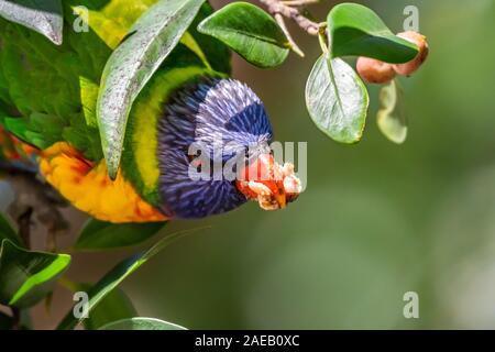 Rainbow Lorikeet [Trichoglossus moluccanus] genießen Bild Obst