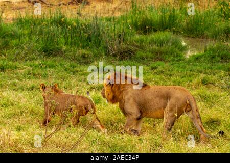 Paarung lion Paar, männlich und weiblich, Panthera leo, Samburu National Reserve, Kenia, Afrika. Wandern im grünen Gras, Rückansicht - Stockfoto