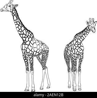 Zwei Giraffen. Vektor-Illustration. - Stockfoto