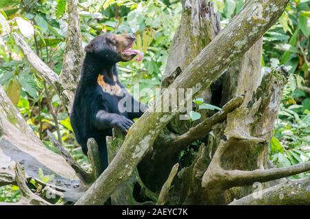 Bornesischen Sun Bear in Sepilok (Sabah, Malaysia) - Stockfoto